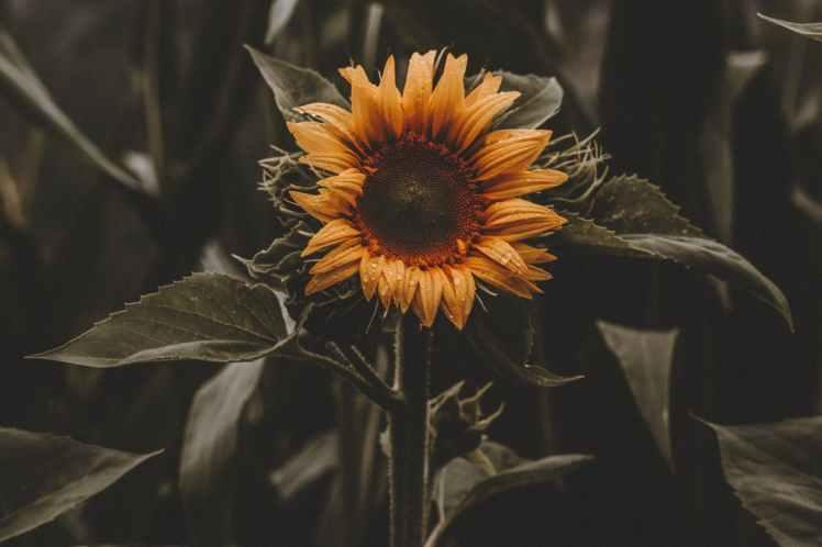 sunflower photography